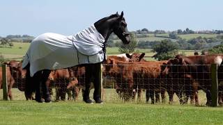 Download Elegant Friesian horse meets the neighbours cows. Video