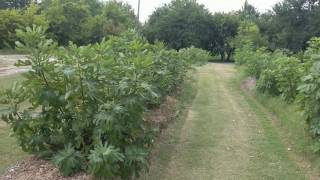 Download Fig Orchard July 2017 Video