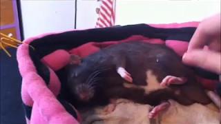 Download my cute sleepy pet rat Video