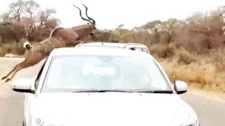 Download Kudu Jumps Over A Car To Escape From A Lion - 16 September 2013 - Latest Sightings Video