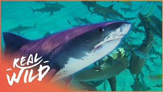 Download Shark Nation: Are Sharks In Danger? | Blue Realm | Wild Things Documentary Video