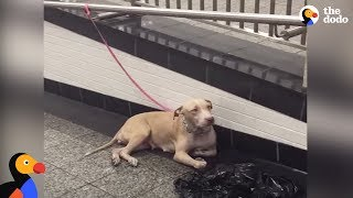 Download Pit Bull Dog Mom Abandoned At NYC Train Station | The Dodo Video