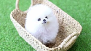 Download Cute Pomeranian Puppies Doing Funny Things #4 | Cute and Funny Dogs Video