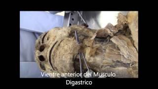 Download Anatomia Cabeza y Cuello, Musculos-Vasos y Ojo Video