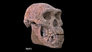 Download Origins of Genus Homo–Australopiths and Early Homo; Variation of Early Homo; Speciation of Homo Video