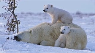 Download POLAR BEAR LOVE: Cute polar bear cubs lovin' up their mamma Video
