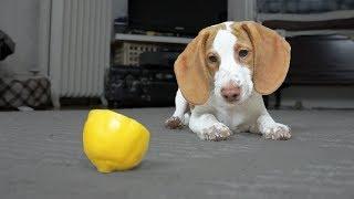 Download Cute Puppy vs. Lemon: Cute Puppy Potpie Video