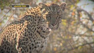 Download Meet the leopards that call Djuma home - #safariLIVE Video