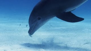 Download How Do Sharks Attack a Dolphin's Blind Spot? Video