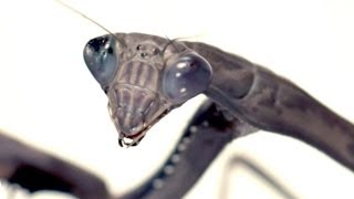 Download Slow motion praying mantis attack! | Slo Mo #2 | Earth Unplugged Video
