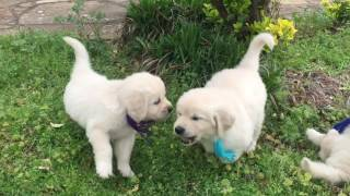 Download Wisteria Goldens | English Cream Golden Retriever Puppies | Piper & Ego (DOB:2/17/17) Video