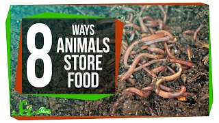 Download 8 Creative Ways Animals Store Food Video