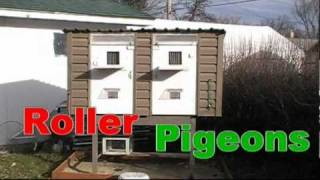 Download Pigeons in Canada Part 2 Video