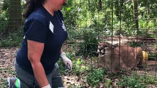 Download Cougar ″cubs″ White Tiger, Lion and Wildcat Walkabout 2018 04 02 Video
