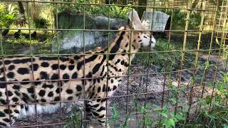 Download Q & A with Brittany at Big Cat Rescue 09172018 Part 2 Video