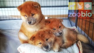 Download Daddo haz lesson from Suki - My life is potato. Ep 46 / Shiba Inu puppies Video