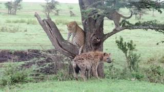 Download The Leopard & Hyena Story - Masai Mara Video