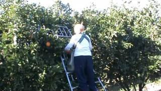 Download orange picking in griffith,australia Video