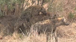 Download Hyena Mating Video