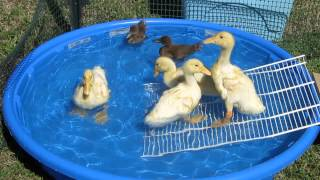 Download Baby Ducks first swim Video
