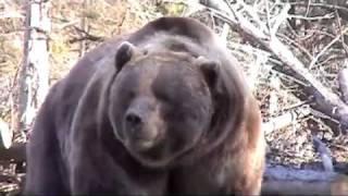 Download Bear Attacks Truck! Video