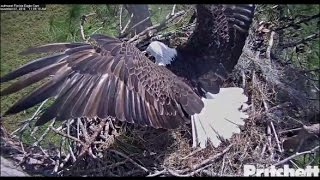 Download SWFL Eagles ~ M15 Brings Prey; Covers with Palm Frond 11.7.16 Video