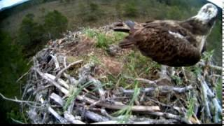 Download EJ arrives chirping, watches out from campost, flies off - ©RSPB Loch Garten & Carnyx Wild Video