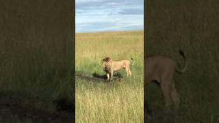 Download Lion digging for warthog in Maasai Mara Video