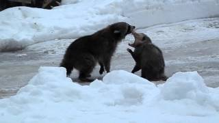 Download Raccoon & opossum fight Video