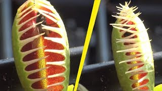 Download 5 Most Terrifying Carnivorous Plants In The World! Video