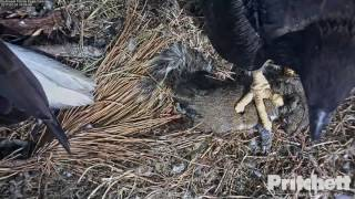 Download SWFL Eagles ~ A Squirrely Delivery 2.24.17 Video