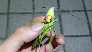 Download 深夜に見つけたヤバすぎる巨大昆虫。 Dangerous giant grasshopper; Pseudorhynchus japonicus Video