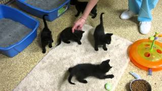 Download New black kittens at FLOC Video
