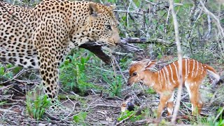 Download Baby Buck Headbutts Leopard Persistently To Try Escape Video