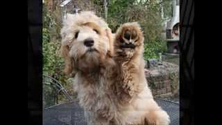 Download Lucky the Australian Labradoodle Video