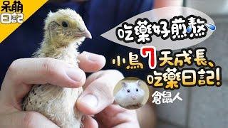 Download 餵鳥吃藥好煎熬!小鵪鶉七天成長吃藥紀錄!│呆萌日記06│ Video