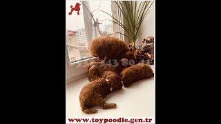Download Toy Poodle Yavru 05323438041 | toypoodle.gen.tr Video
