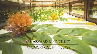 Download Harvard restores its famed Glass Flowers Video