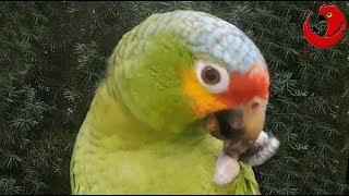 Download Gadająca papuga Kuki - ″Kuki ćwiczy operetkę' (Kuki the Talking Parrot) Video