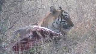 Download ZONE 6 - T34 Kumbha with kill in Ranthambore National Park Video