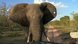 Download Djuma Game Reserve: Scott's and David's Scary Elephant Encounter March 02, 2016 Video