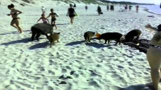 Download Мама кабанище! Дикие кабаны на пляже. Boars on the beach. Video