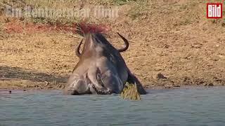 Download Flusspferde retten Gnu vor Krokodil 😨😰 Video