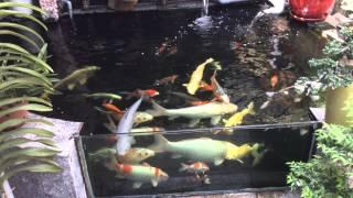 Download Hồ chép koi nhỏ Video