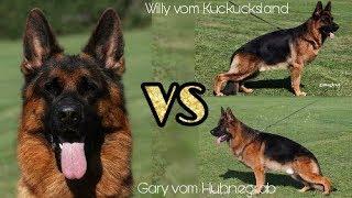 Download BSZS 2017 Gary vom Huhnegrab vs Willy vom Kuckucksland Video