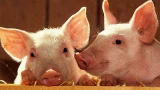 Download Pig Sounds and Pictures Video
