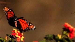 Download Slow motion Butterfly in flight Video
