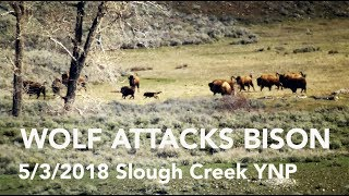 Download WOLF ATTACKS BISON - Slough Creek May 3, 2018 Video