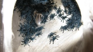 Download RETRIEVING AND TRANSFERRING THE AVICULARIA VERSICOLOR SLINGS Video