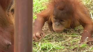 Download Baby Orangutan POPO 03 - Start Crawling Video
